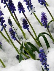Hyacinths in Snow